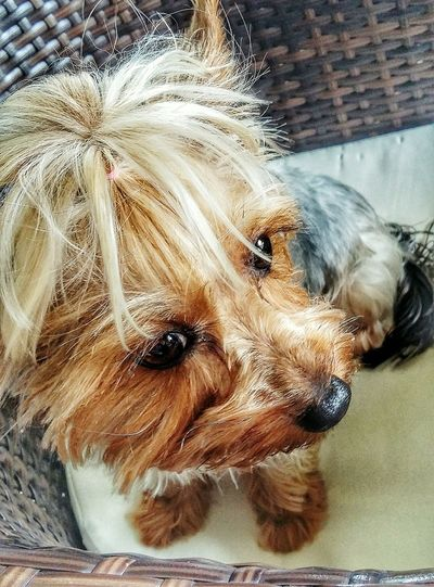 Hello World Good Times Dog Love Dog❤ Yorkie Yorkshire Terrier Sweety  Novibeograd