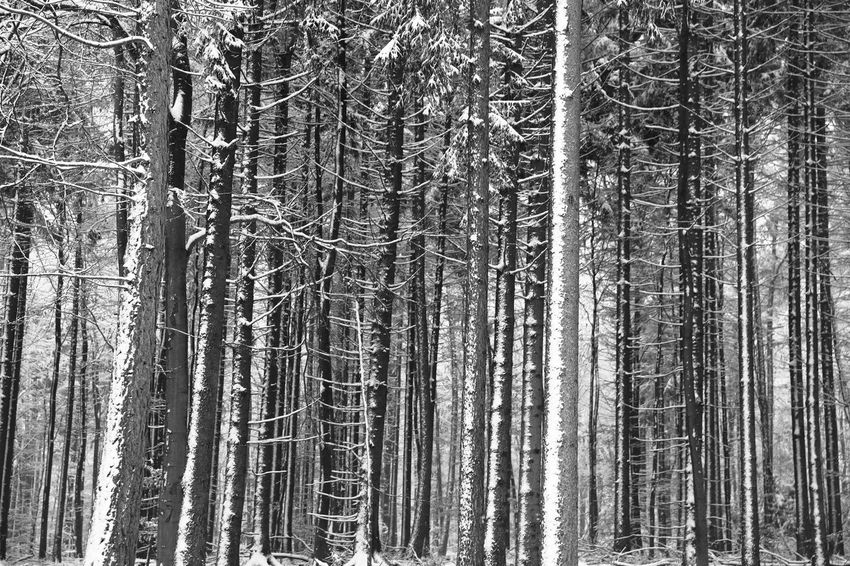 Homogeneous Taunus Highlands Abundance Black And White Forest Forest Trees Full Frame Growth Landscape No People Outdoors Snowy Day Snowy Landscape Snowy Trees Texture Tranquility Tree Tree Trunk Wallpaper Wilderness Area Winter WoodLand