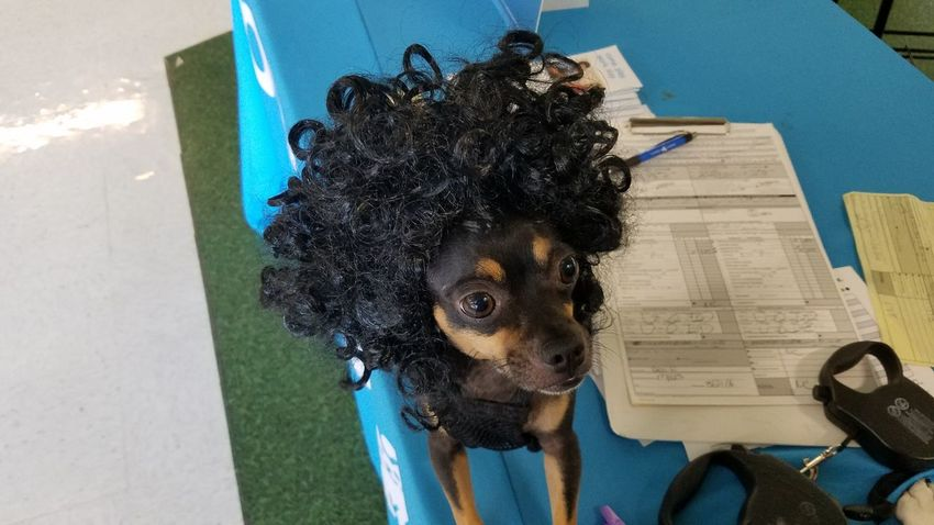 Bad Hair Day Animal Themes Close-up Day Dog Domestic Animals High Angle View Indoors  No People One Animal Pets Table The Purist (no Edit, No Filter) Pet Portraits The Fashion Photographer - 2018 EyeEm Awards The Portraitist - 2018 EyeEm Awards The Creative - 2018 EyeEm Awards The Photojournalist - 2018 EyeEm Awards A New Beginning