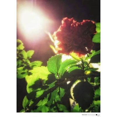 【 街道一隅 】 入秋的夜晚 漫步在無人的街道 安靜於角落的花朵 受路燈照射而有了溫度 這是生命 在對的時刻被看見 毫無畏懼 坦然面對 走近一看 原來還有許多未曾看見的花朵 正展現屬於它的生命 LGG4 手機攝影 Light 365Snap Flower