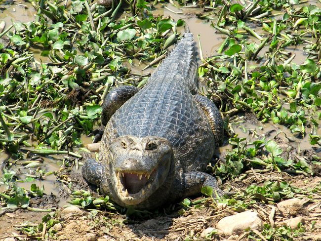 Caiman Animals In The Wild One Animal Reptile Close-up Nature Animal Wildlife Predator Dangerous Animals Wetlands Pantanal Brazil No People Outdoors Threatening Agressive