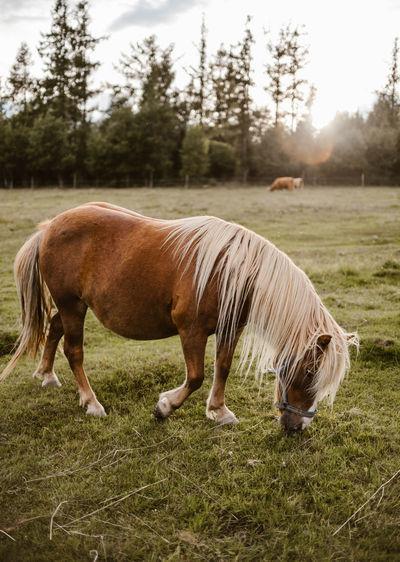 Pony grazing on field
