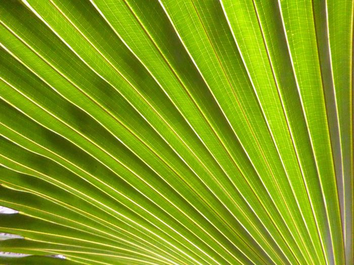 Done That Been There. Caribian Close Up Of Palm Leaf Palm Frond Close Up Backgrounds Beauty In Nature Close-up Detail Of Palm Leaf Freshness Growth Nature No People Plant Textured