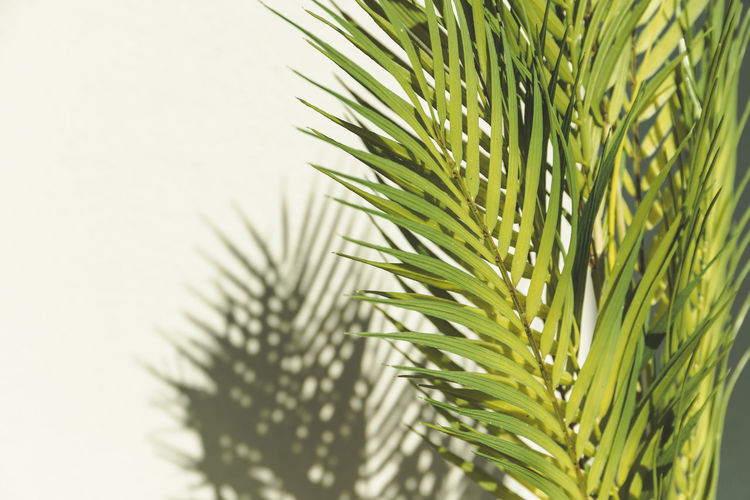Close-up of pine tree against clear sky