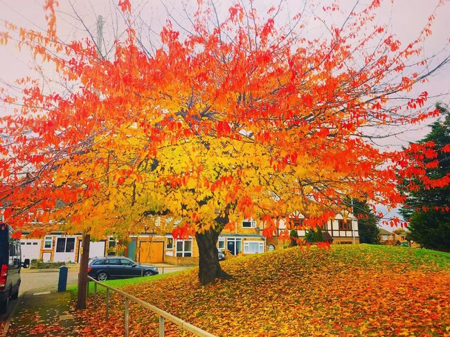 Autumn Leaf Change Nature Tree Multi Colored Maple Tree Beauty In Nature Scenics Outdoors Maple Leaf Postcode Postcards Theholysin Rainham Perspectives On Nature Tadaa Community
