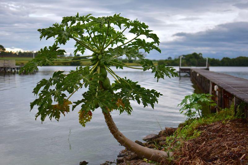 Mamão tree near
