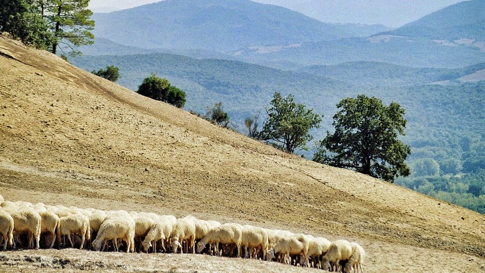 My Old 35mm Film Italy❤️ Toscana Sheep Landscape_photography Landscapes Eyemphotography Learn & Shoot: Layering Endlessness Better Together
