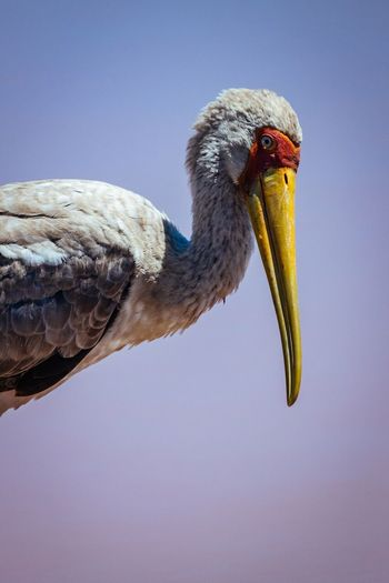 Close-Up Of Yellow-Billed Stork