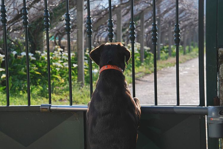 Rear view of dog looking through a gate