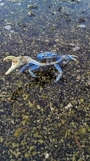 Blue Crab Crab Saltwater Ocean Creature Come At Me Bro Hands Up Miami, FL Biscayne Bay Crustacean