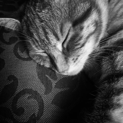 My Cat Domestic Cat Domestic Animals Sleeping Pets Eyes Closed  One Animal Animal Themes Indoors  Feline Close-up Relaxation No People Mammal Comfortable Whisker Lying Down Day