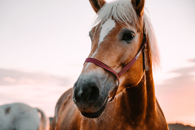 Close-up portrait of horse standing against sky during sunset