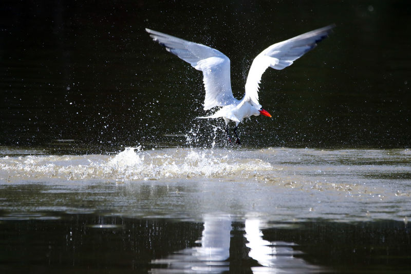 Close-Up Of Caspian Tern Flying Over Lake