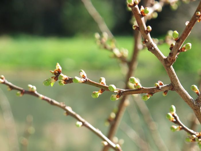 Close-up of buds on branch