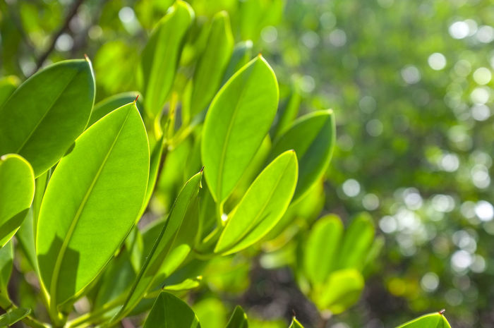 Close-up of mangrove leaves at East Point Reserve in Darwin, Northern Territory, Australia. Mangrove Leaf Mangrove Leaves Rhizophora Rhizophoraceae Beauty In Nature Chlorophyll Close-up Day Focus On Foreground Freshness Green Color Growth Halophytes Leaf Nature No People Outdoors Plant Plant Part Sunlight Tranquility