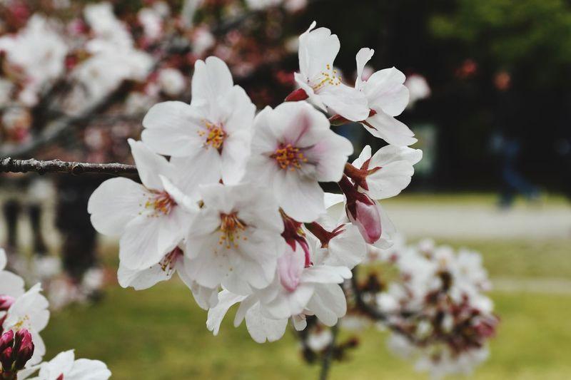 Sakura Cherry Blossom EyeEm Selects Flower Flowering Plant Freshness Fragility Vulnerability  Plant Blossom Flower Head Close-up Pollen Tree Day Springtime