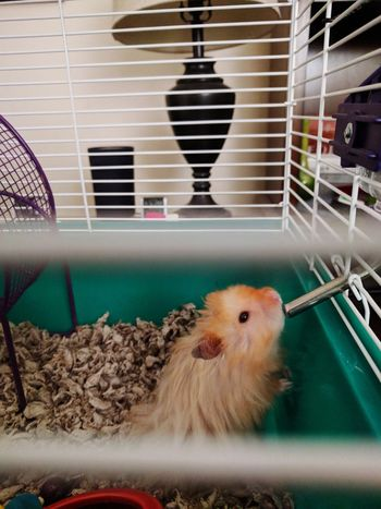 Pet Portraits Pet Drinking Indoors  No People Long Haired Hamster Syrian Hamster  Teddy Bear Hamster