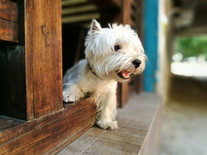 West Higland White terrier Dog Lovers🐾 Dog Pets One Animal Animal Domestic Animals Animal Themes West Highland White Terrier Mammal Outdoors No People Day