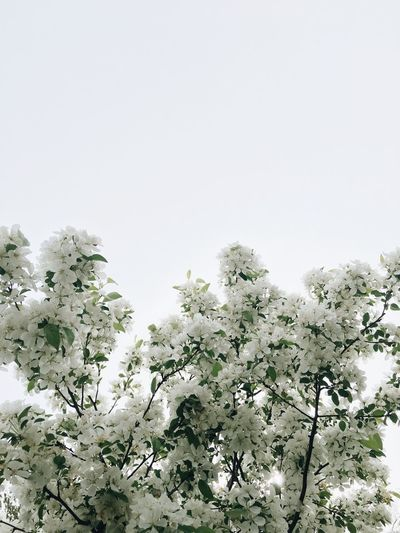 Flower Fragility Nature Beauty In Nature Blossom Growth White Color Freshness Low Angle View Botany No People Springtime Apple Blossom White Background Tree Petal Clear Sky Day Branch Plant