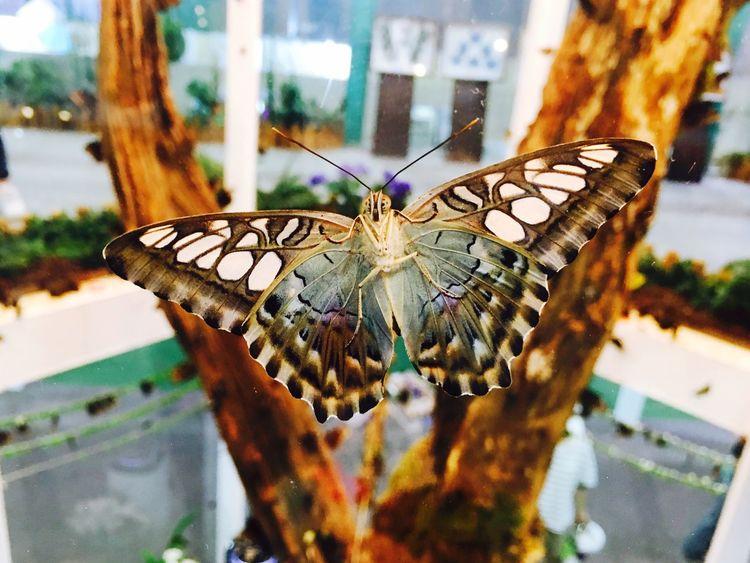 Taehee96 Korea Expo Butterfly Insect Sylvia Parthenos Sylvia Sylla