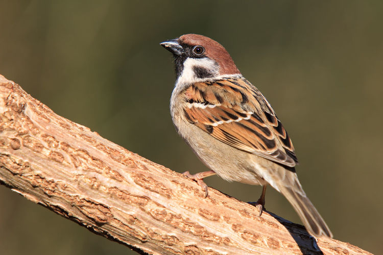 Field sparrow sitting on trunk