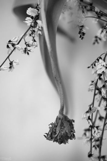 Beauty In Nature Blackandwhite Death Drooping Flowers Flower Fragile Fragile Beauty Fragility Monochrome Nature Petals Plant Transient Tulip Wilted Flower