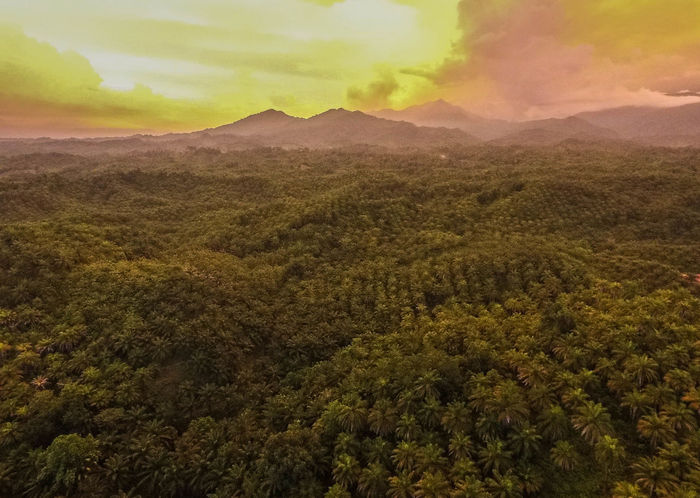 This is the palm oil plantation in South Sulawesi - Indonesia. The picture was taken exactly after the sunset and yield golden taste to the sky and ground. Drone  EyeEm Best Shots EyeEm Nature Lover INDONESIA Lost In The Landscape Makassar Makassar-Indonesia Palm Tree Sulawesi Sulawesi Selatan Aerial View Beauty In Nature Celebes Drone Photography Dronephotography Makassarcity Mountain Mountain Range Nature Palm Oil Industry Palm Trees Scenics Sulawesiselatan Tranquility Tree