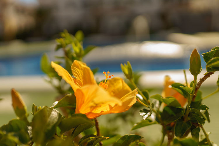 Poolside flowers Poolside Flower Head Flower Prickly Pear Cactus Water Leaf Summer Close-up Plant Flowering Plant Botanical Garden Tropical Flower Blossom Plant Life