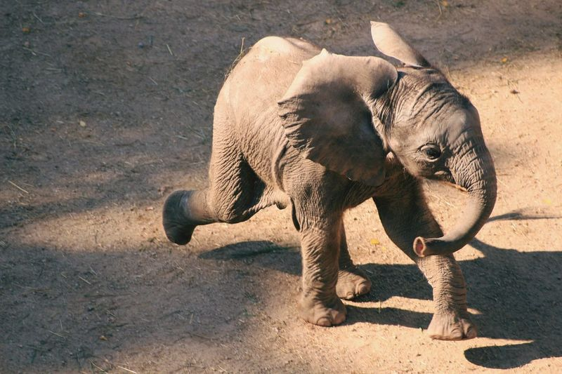 High angle view of elephant calf running at zoo
