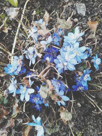 Follow me on instagram : agpeta Flower Leaf High Angle View Blue Close-up Plant Plant Life Leaf Vein Leaves Blossom In Bloom Botany