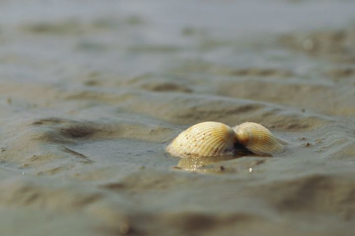 • Little treasures of the Wadden Sea • Tranquil Scene Low Angle View Waddensea Sand Beach Water Shell Selective Focus Marine Beauty In Nature Animal Shell Close-up No People Seashell Day Sea Nature