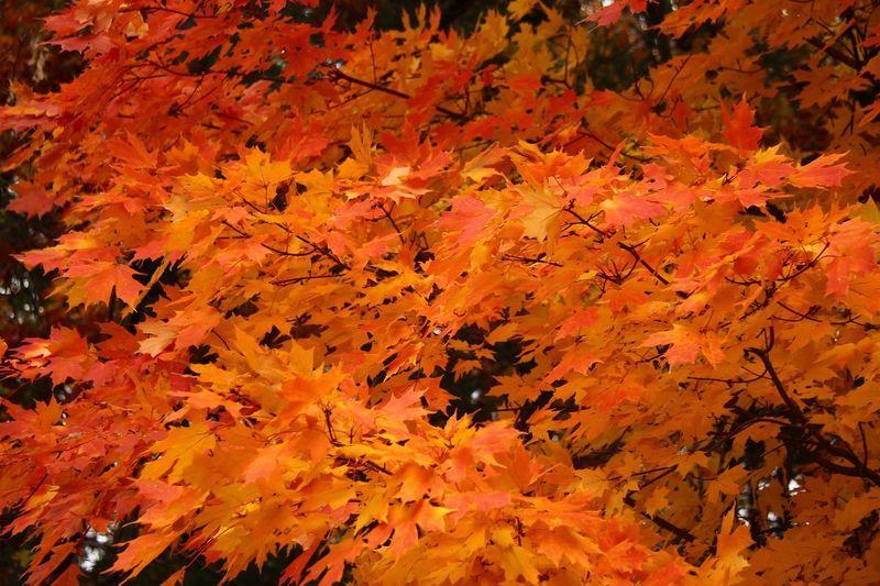 Autumn Orange Color Change Plant Part Beauty In Nature Leaf Nature