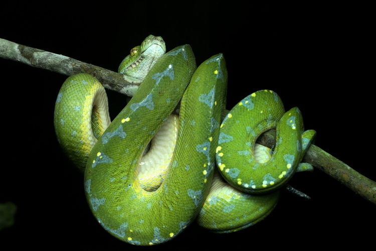 Close-up of green snake on branch against black background