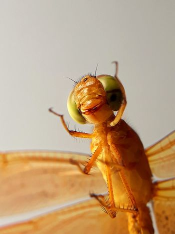 Hello i am dragon, i fly, i am not harmfull, lets smile Perching Insect Living Organism Close-up Animal Themes Dragonfly Animal Leg