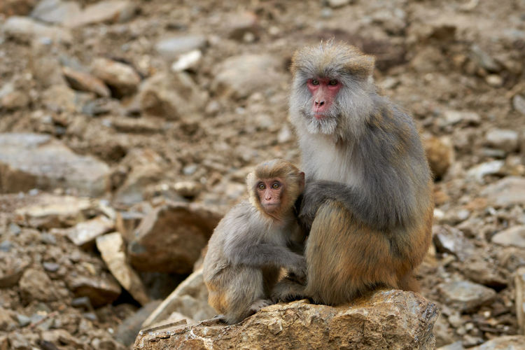 Seda Tibetan Macaque Macaque Macaque Monkey Monkey Animals In The Wild Animal Wildlife Primate Mammal Vertebrate Day Animal Themes Animal Group Of Animals Two Animals Solid Young Animal Focus On Foreground Sitting Rock Togetherness Rock - Object No People Animal Family Outdoors