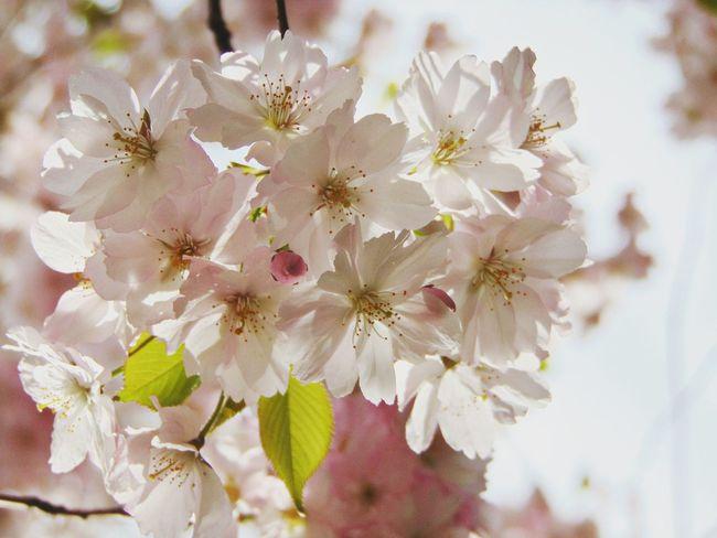 сакура Вишня дерево цветы растение красота Природа Folowme Flowers