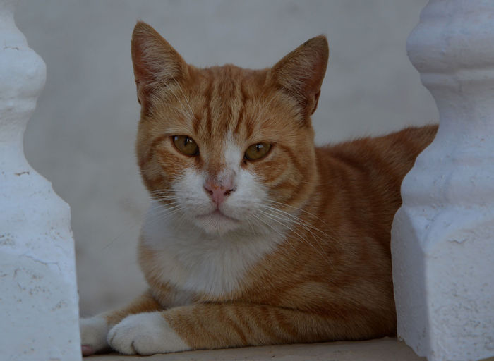 Close-Up Portrait Of Ginger Cat Amidst Balustrade