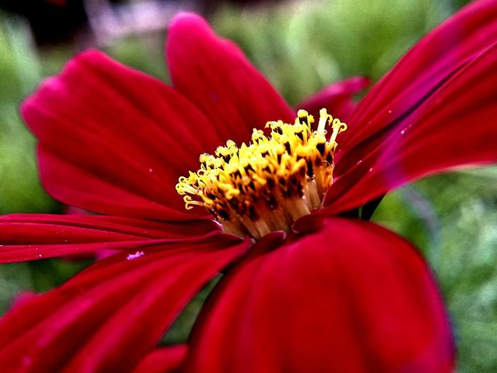 Beauty In Nature Blooming Close-up Day Flower Flower Head Fragility Freshness Growth Outdoors Plant Red Selective Focus