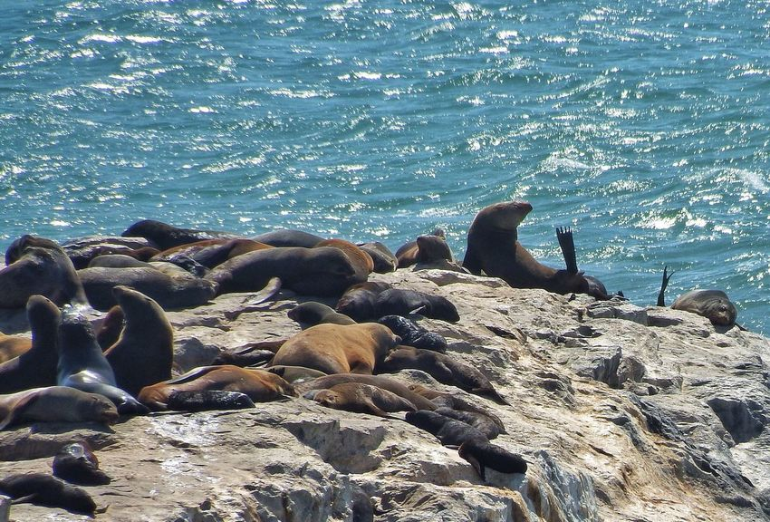 Seal Seals Seal Point Robbe Robben
