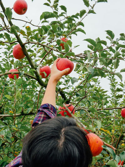 Close-up of woman picking apples on tree