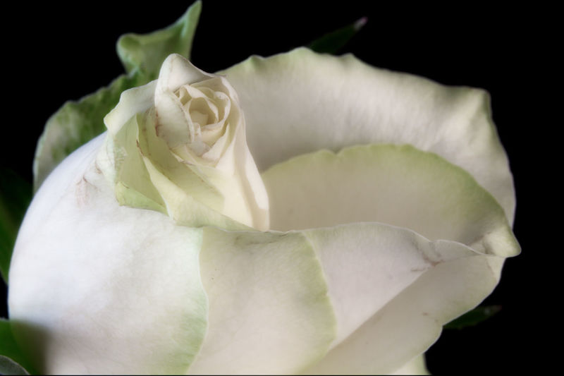 Close-up of rose blooming against black background