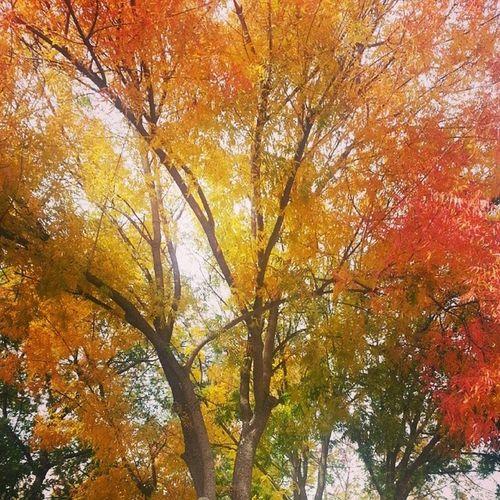Fall in Davis is here! Something San Diego doesnt have Ucdavis Fall Beautiful Davis Nature Treesarecool