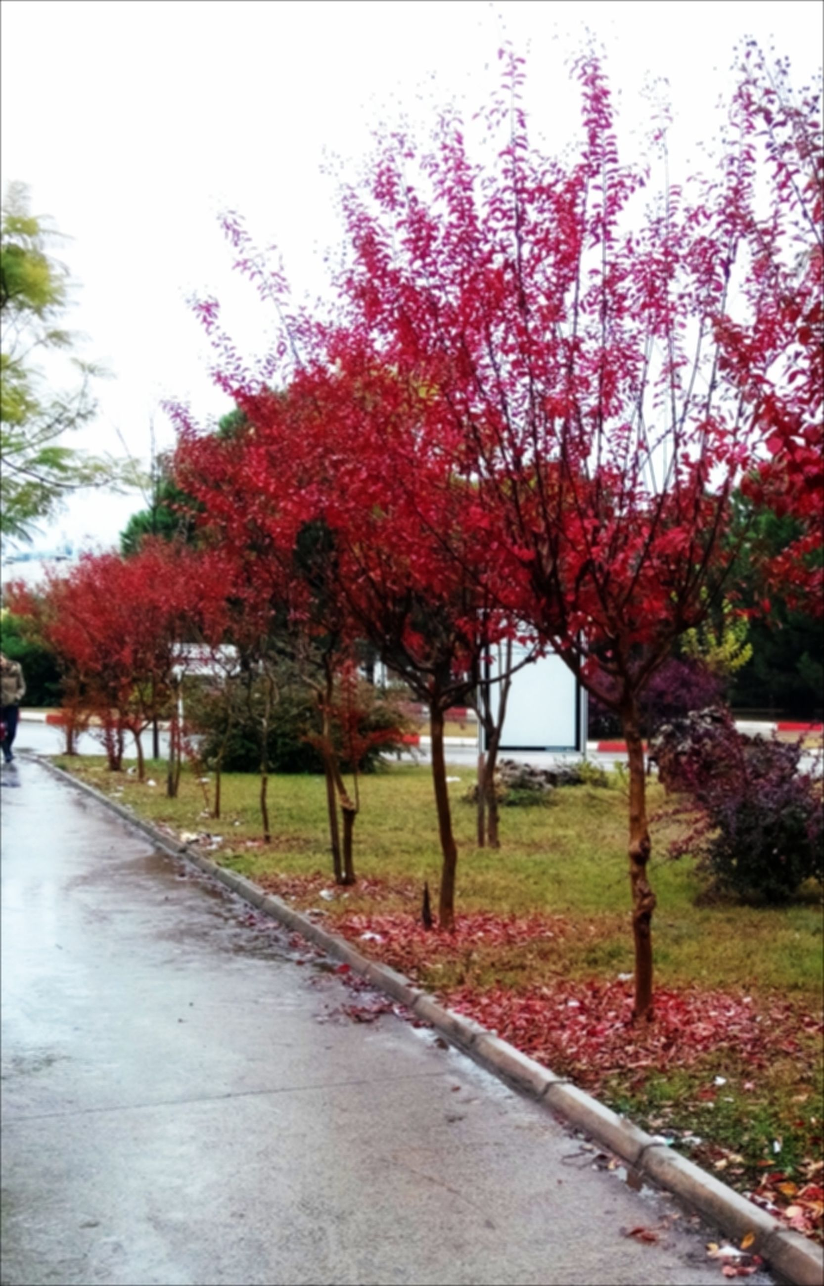 tree, autumn, change, footpath, growth, season, the way forward, park - man made space, road, street, nature, built structure, incidental people, beauty in nature, building exterior, clear sky, day, sidewalk, flower, outdoors