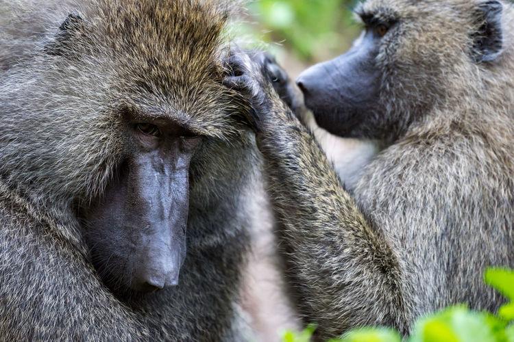 Ape Baboon Grooming Monkey Olive Baboon Primate