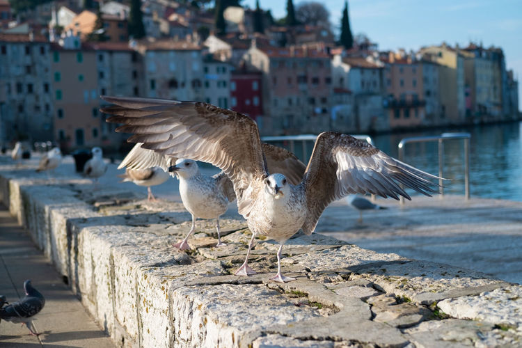 Seagul spreading wings Animal Bird Spread Wings Animal Themes Animals In The Wild Vertebrate Animal Wildlife Flying Seagull Architecture Group Of Animals Built Structure Day Water Nature No People Motion Outdoors Sunlight Focus On Foreground Building Exterior Travel Travel Destinations Croatia Rovinj Flying Bird Taking Off Birds Spreading Wings