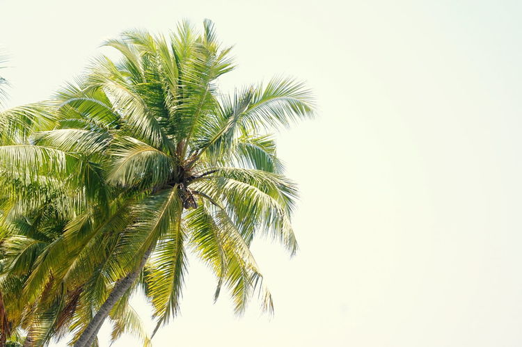 Beauty In Nature Clear Sky Day Green Green Color Growing Growth Leaf Low Angle View Lush Foliage Nature No People Outdoors Palm Tree Plant Scenics Sky Tranquil Scene Tranquility Tree