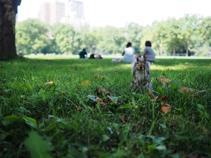 i see you Central Park New York New York City Squirrel Adult Childhood Day Field Full Length Grass Green Color Growth Land Men Nature Outdoors People Plant Real People Selective Focus Standing Togetherness Tree Two People