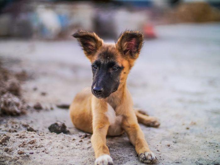 Portrait Of Shepherd Dog On Ground