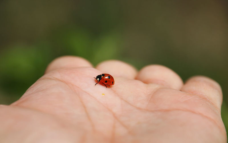 Coccinellidae Human Body Part Human Hand Insect Invertebrate One Person Ladybug Hand Animal Wildlife Animals In The Wild Beetle One Animal Body Part Unrecognizable Person Close-up Finger Selective Focus Small Human Limb