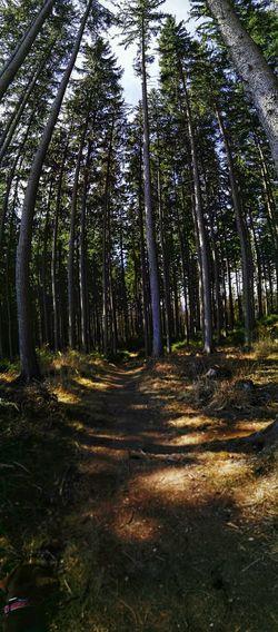 im Wald Waldläuf Mit Hund Tree Tree Area Forest Tree Trunk WoodLand Sky Landscape